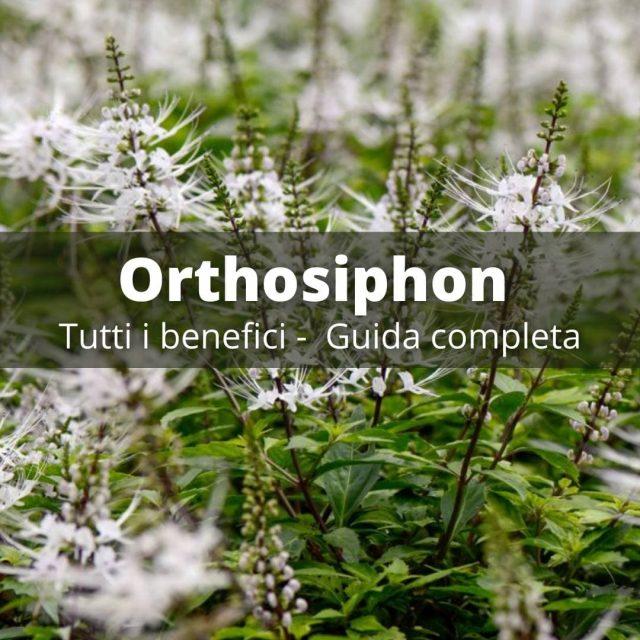 orthosiphon: guida completa